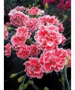 Scent First® Coral Reef Dianthus