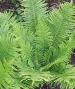 The King Ostrich Fern