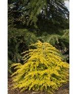 Golden Duchess® Eastern Hemlock