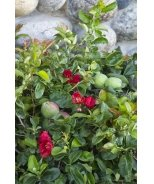 Super Red® Flowering Quince