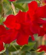 Sun Parasol® Pretty Crimson Mandevilla