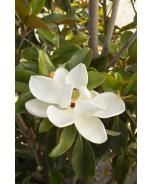 Saint Mary Southern Magnolia