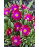 Jewel of Desert Garnet Ice Plant