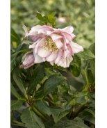 Ashwood Elegance Pearl Lenten Rose