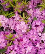 Boursault Catawba Rhododendron