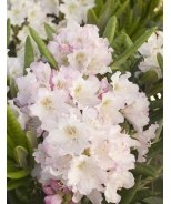 Mikkeli Rhododendron