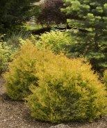 Rheingold Arborvitae