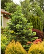 Candicans White Fir