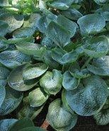 Prairie Sky Plantain Lily