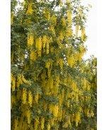 Vossi Golden Chain Tree