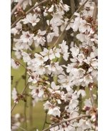 Snow Fountains® Weeping Cherry