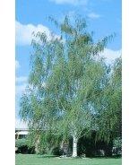 Cutleaf European White Birch