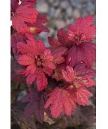 Plum Passion® Vine Maple
