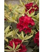Raise The Roof® Firestorm Rhododendron