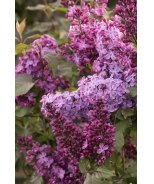 Old Glory Lilac