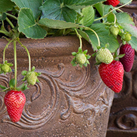 san andreas strawberry cropped