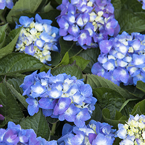 Seaside Serenade® Cape Cod Reblooming Hydrangea