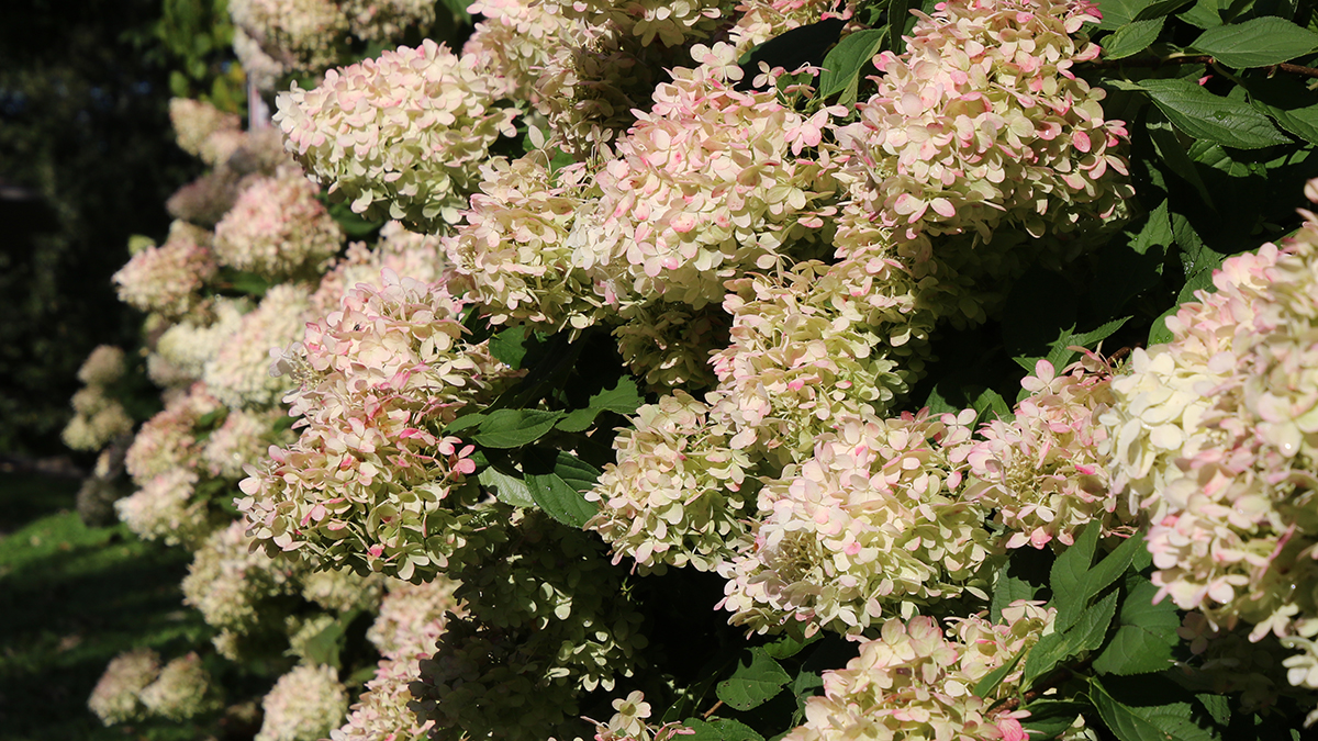 It S A Wrap Here S How To Put Hydrangeas To Bed For The Winter