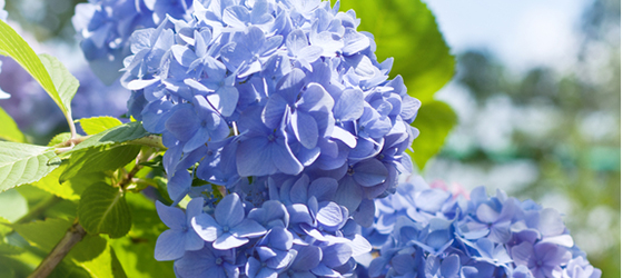 Blue hydrangea on blue sky