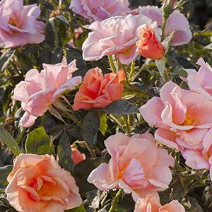 CP076177 - flowering rose