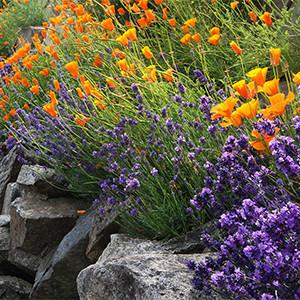 lavender-poppies-rockgarden-lo-1-150x150@2x