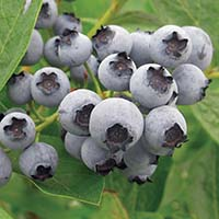 lowbush-blueberry-cropped
