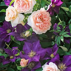Rosa 'Kir Royal' and Clematis hybrid 'The President'