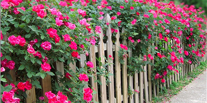 rosehedge700x350