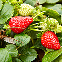 seascape-strawberry-cropped