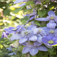 1590-blue-light-clematis-close-up