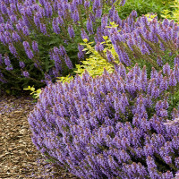 2125-blue-fortune-hyssop-full-shot