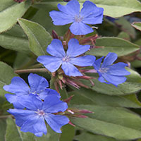 2348-dwarf-plumbago-close-up