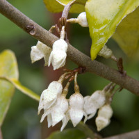 3190-ebbinges-silverberry-fall-close-up