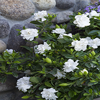 3780-everblooming-gardenia-full-shot-re