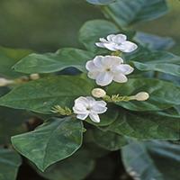 14808-CF Arabian Jasmine, Jasminum sambac, flowers of shrub, family Oleaceae, in June at Bakersfield, CA USA