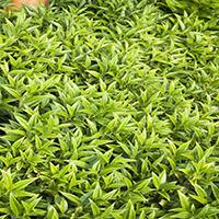 7050-himalayan-sweet-box-foliage-re