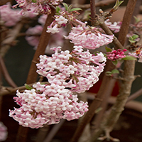 7358-pink-dawn-viburnum-extreme-close-up-re