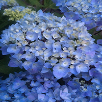9275-blue-enchantress-hydrangea-extreme-close-up