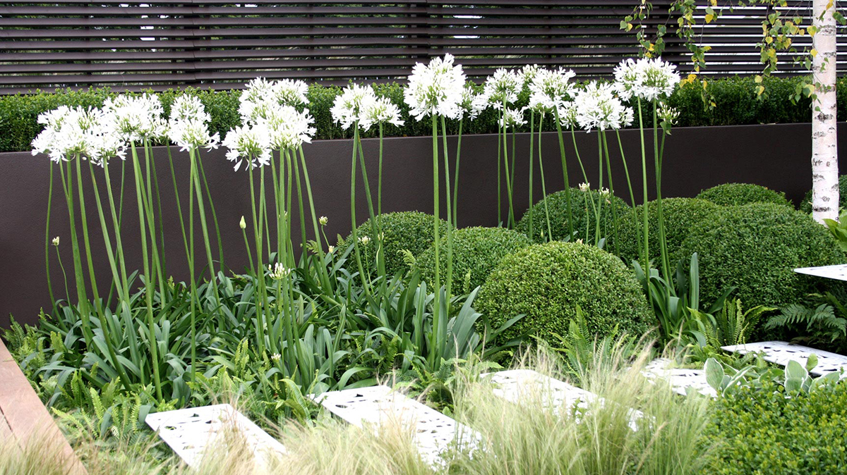 Better Ways To Use Agapanthus Grow Beautifully