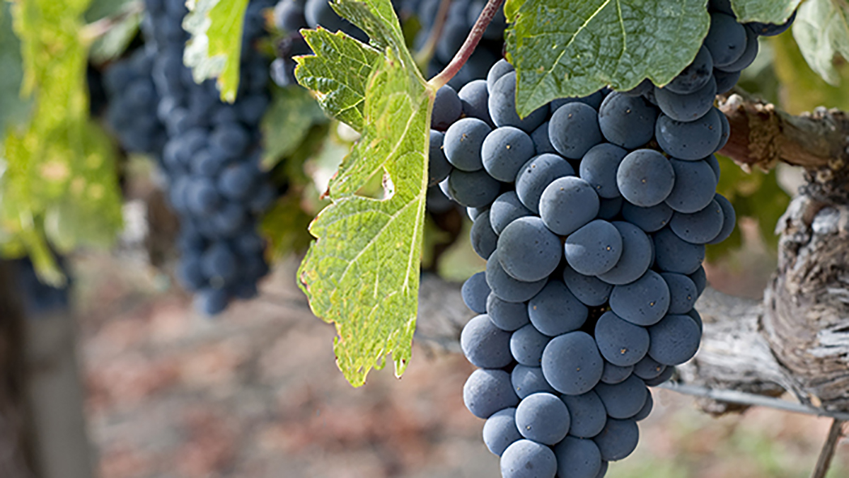 5 Easy Steps For Growing Grapes In Your Own Backyard Grow