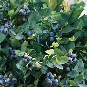 blueberrypeachsorbetcropped