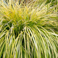 Carex EverColor® Everoro, Astelia