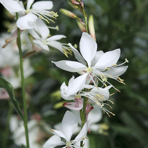 Geyser White Gaura