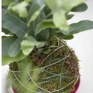 Kokodema plants