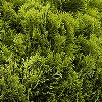 plantsavvymay2016lowgrowersarborvitaecropped