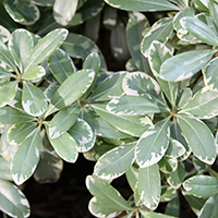 plantsavvymay2016lowgrowerscremedemintcropped
