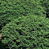 plantsavvymay2016lowgrowershollycropped