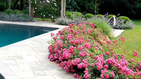 1_FC Pink_Barrier Hedge1cropped560x313
