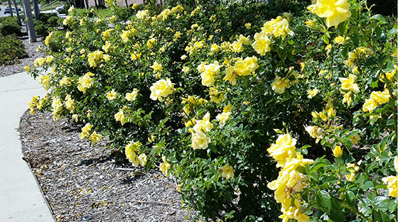 3_FC Yellow_Ladera sidewalkrawcropped