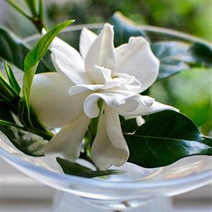 gardeniafloatingcropped300x300-150x150@2x